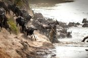 croc grabs wildebeest