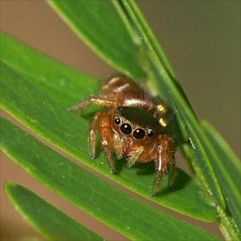 cute spider Bagheera kiplingi